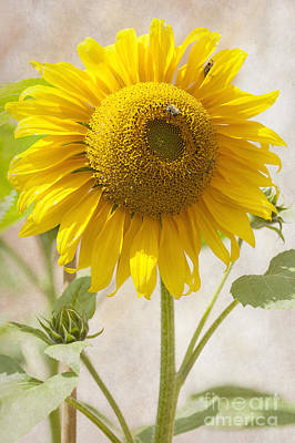 Sunflower Art Print by Svetlana Sewell