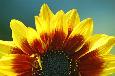 Art Print featuring the photograph Sunflower by Tam Ryan