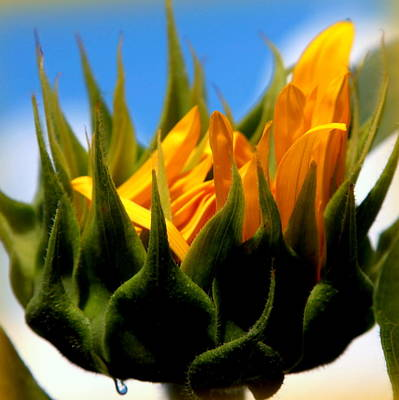 Flowers And Water Drops Wall Art - Photograph - Sunflower Teardrop by Karen Wiles