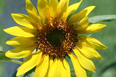 Photograph - Sunflower by Terry Burgess