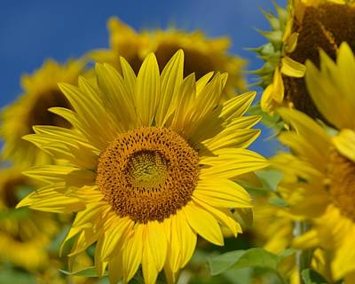 Photograph - Sunflower by Toby McGuire