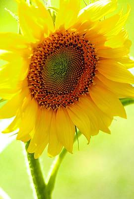 Photograph - Sunflower by Tracy Male