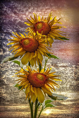 Photograph - Sunflower Trio by Debra and Dave Vanderlaan