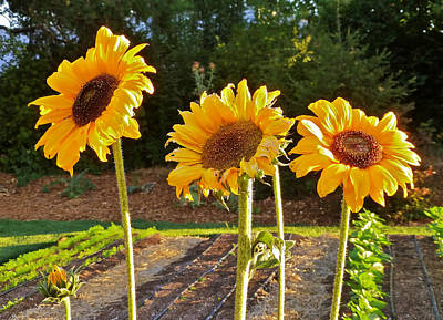 Art Print featuring the photograph Sunflower Trio by K L Kingston