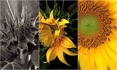 Triptych Photograph - Sunflower-triptych by Don Spenner