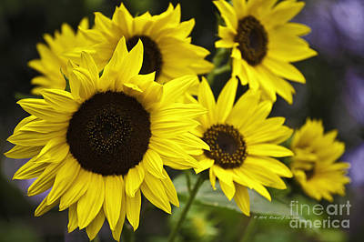 Photograph - Sunflower V. 'italian White ' by Richard J Thompson