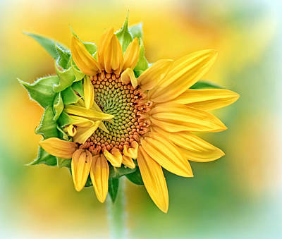 Photograph - Sunflower Version Of A Bad Hair Day by Carolyn Derstine