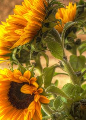 Photograph - Sunflower Vibrance by Michael Hope