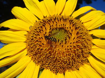 Photograph - Sunflower Visitor Series 1 by Janet Otto