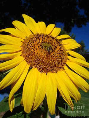Photograph - Sunflower Visitor Series 3 by Janet Otto