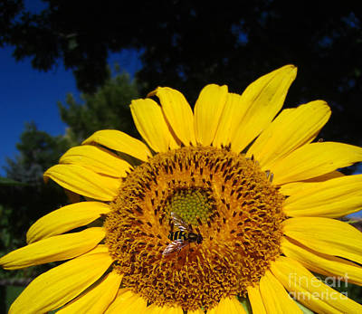 Photograph - Sunflower Visitor Series 4 by Janet Otto