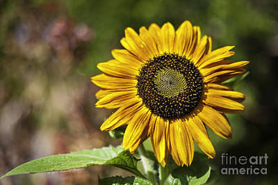 Photograph - Sunflower Vr. 'velvet Queen ' by Richard J Thompson