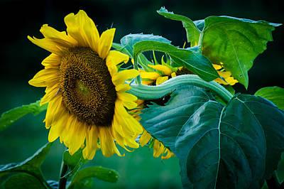 Art Print featuring the photograph Sunflower by Wayne Meyer