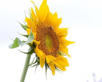 Photograph - Sunflower by Wayne Valler