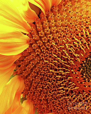 Photograph - Sunflower by Wingsdomain Art and Photography