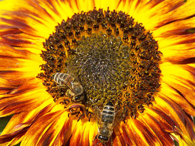 Golden Photograph - Sunflower With Bees by Matthias Hauser