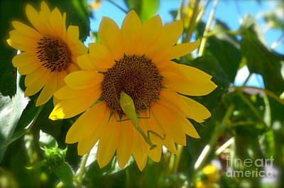 Photograph - Sunflower With Upside Down Visitor by Luther Fine Art