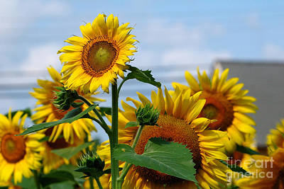 Photograph - Sunflowers 1 2013 by Edward Sobuta