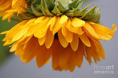Sunflowers 6 Print by Carol Lynch