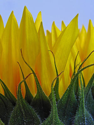 Yellow On Blue Photograph - Sunflowers After Hours by Juergen Roth