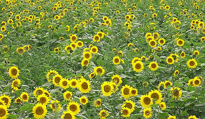 Photograph - Sunflowers by Aimee L Maher Photography and Art Visit ALMGallerydotcom