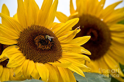 Photograph - Sunflowers And Bees by Cheryl Baxter