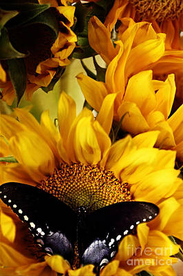 Butterfly On Blue Flower Photograph - Sunflowers And Butterflies by Stephanie Frey