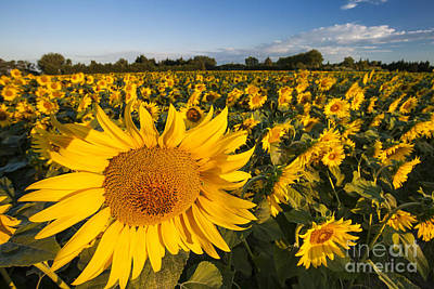 Photograph - Sunflowers At Dawn by Brian Jannsen