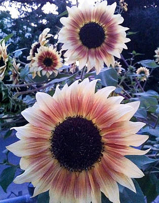 Photograph - Sunflowers At Dusk by Rick Starbuck