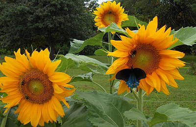 Photograph - Sunflowers Bees And Butterfly by Diannah Lynch