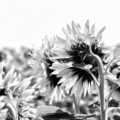 Sunflowers Wall Art - Photograph - #sunflowers #blackandwhite #bnw by Georgia Fowler