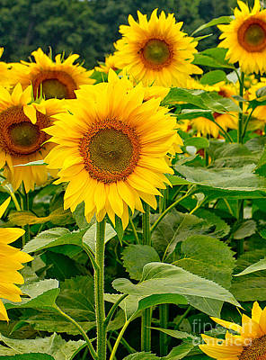 Photograph - Sunflowers by Brad Marzolf Photography