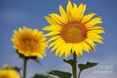 Photograph - Sunflowers by Brian Jannsen