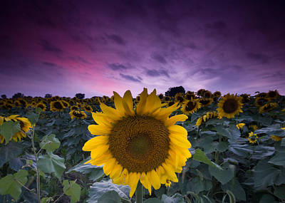 Sunflowers Royalty-Free and Rights-Managed Images - Sunflowers by Cale Best