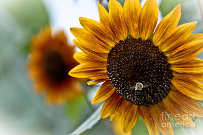 Photograph - Sunflowers by Cheryl Baxter