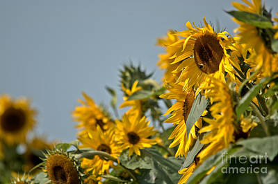 Photograph - Sunflowers Congregating by Cheryl Baxter