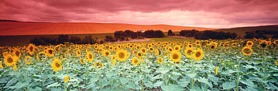 Flowering Blossoms Photograph - Sunflowers, Corbada, Spain by Panoramic Images