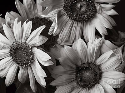 Black And White Sunflower Photographs Fine Art America