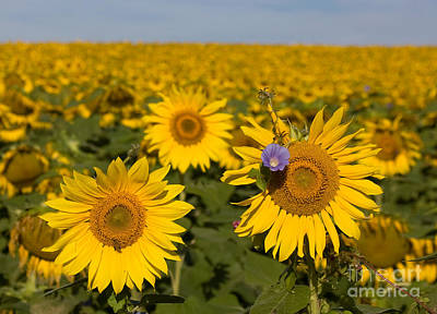 Photograph - Sunflowers Field by Chris Scroggins