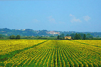 Sunflowers Field Of Tuscany Italy Art Print