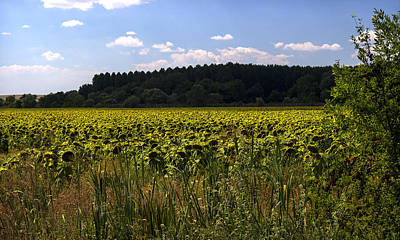 Photograph - Sunflowers Field With Cloudy Blue Sky by Radoslav Nedelchev