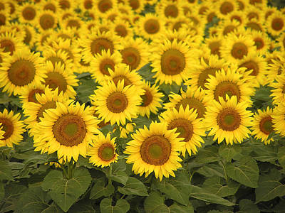 Photograph - Sunflowers For Mom by Haiti Missions