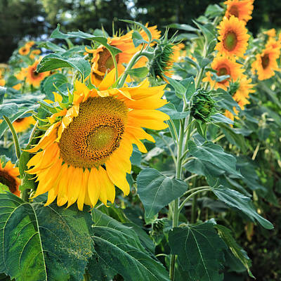 Sunflowers For Wishes Art Print by Bill Wakeley