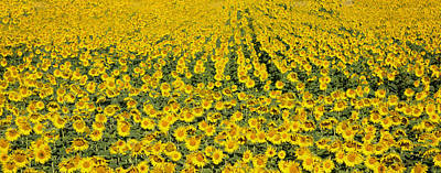 Provence Photograph - Sunflowers Forever by Rebecca Cozart