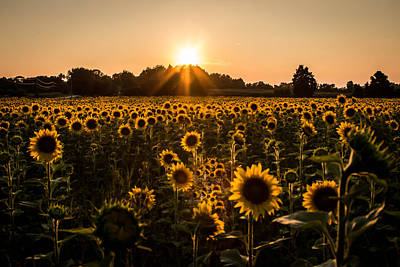 Photograph - Sunflowers Forever by Sara Frank