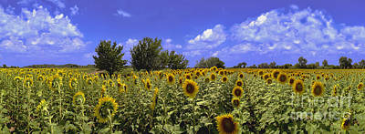 Photograph - Sunflowers Helianthus Especially H. Annuus by David Zanzinger
