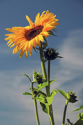 Sunflowers, Hood River, Oregon, Usa Art Print by Michel Hersen