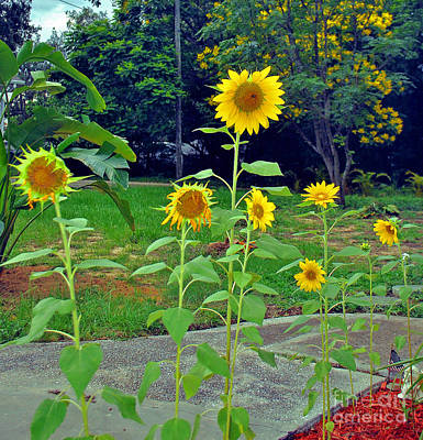 Photograph - Sunflowers In A Row by George D Gordon III