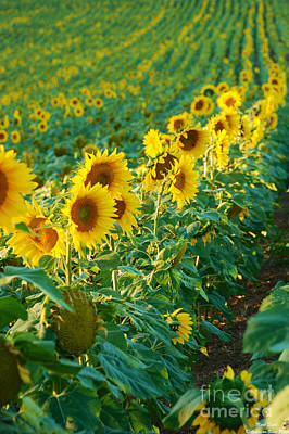 Photograph - Sunflowers In A Row by Mark Dodd