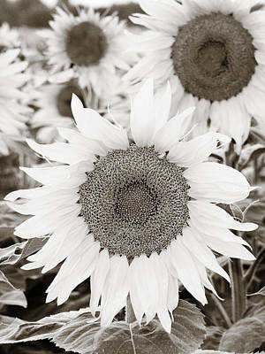 Sunflowers In Back And White Art Print by Marilyn Hunt